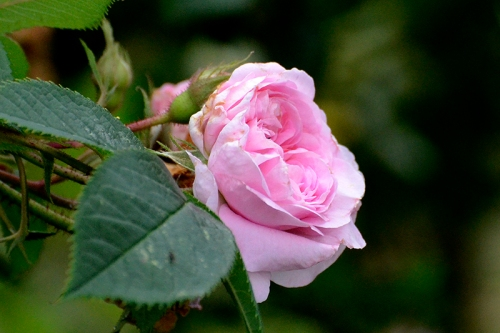 Queen of Denmark rose