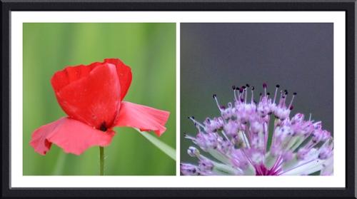 poppy and astrantia