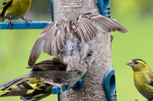 sparrow kicking