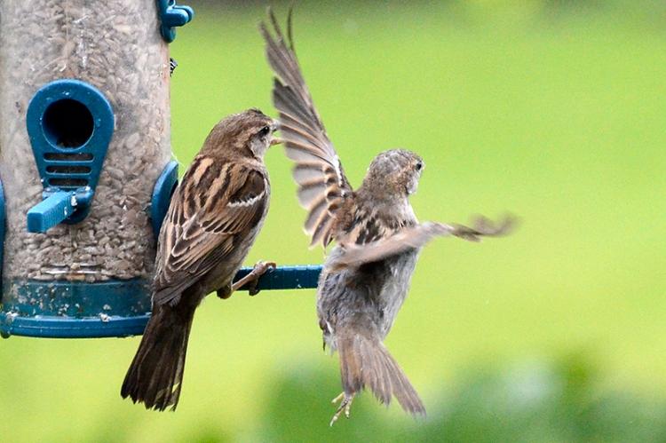 sparrows sharing perch