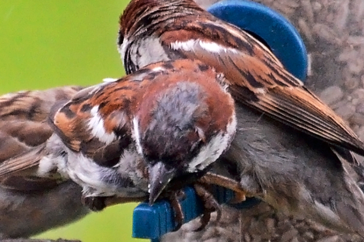 male sparrows