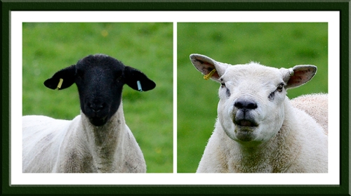 Sheep on Stubholm