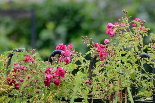 Rambler roses