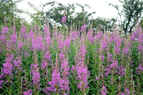rosebay willow herbs