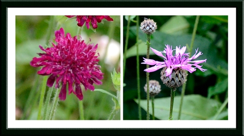 knautia and knapweed