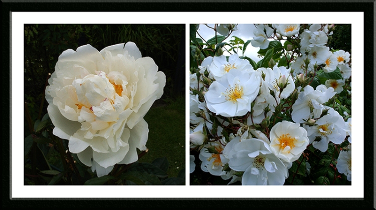The very last peony and Bobbie James just cutting loose.