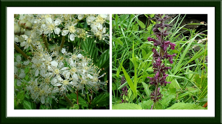 umbellierfa and nettle