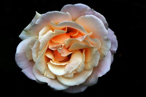 Clare's rose