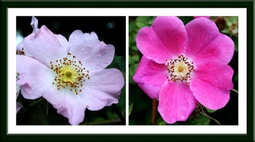 Wauchope school roses