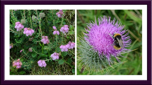 bell heather thistle