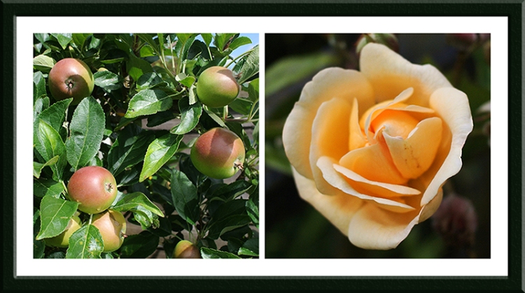 apple and rose