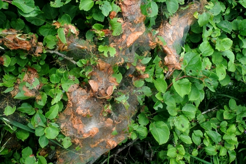webbed hedge