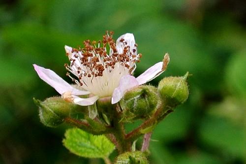 bramble flower