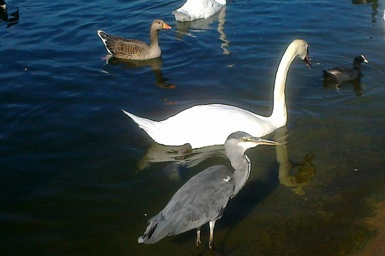 Mr Grumpy's cousin, pretending to be a swan or goose.