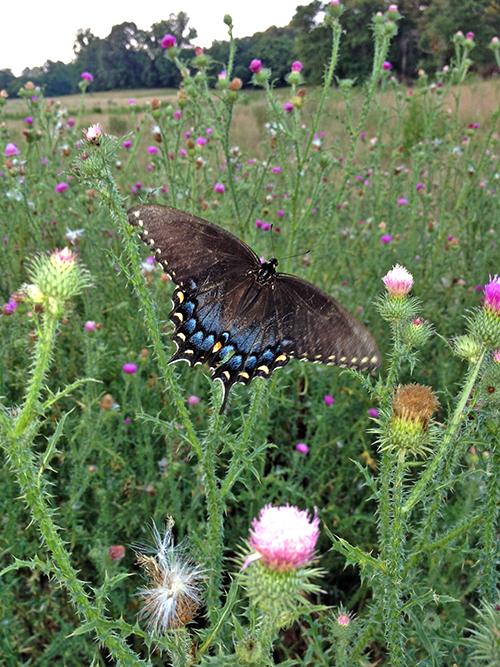 Va butterfly