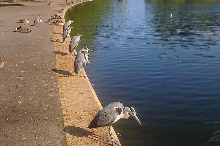 Hyde park herons
