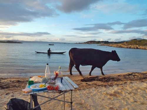 cow and canoe