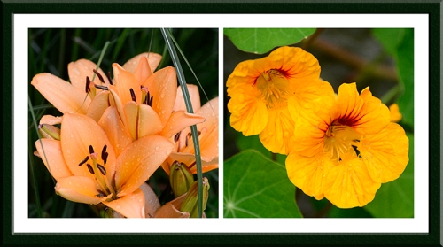 lilies and nasturtiums