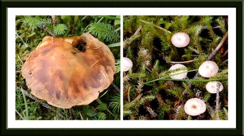 Bessie's hill fungus