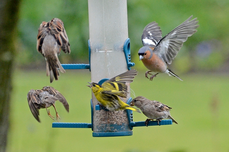 siskin, sparrows and chaffinch