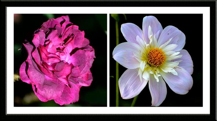 moss rose and dahlia
