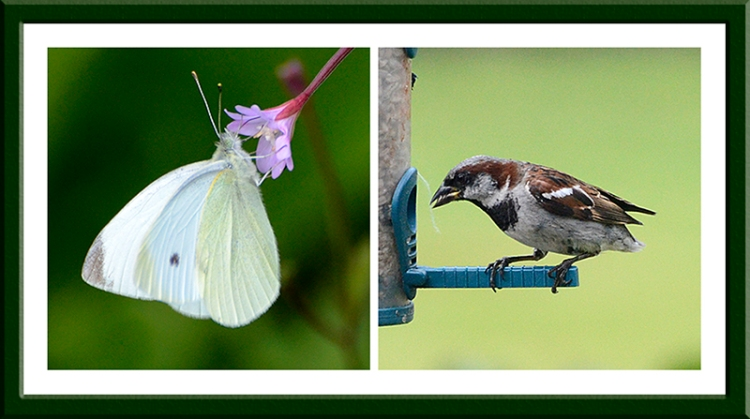 butterfly and tailess sparrow