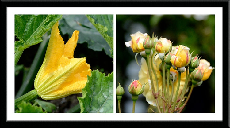 courgette and rose