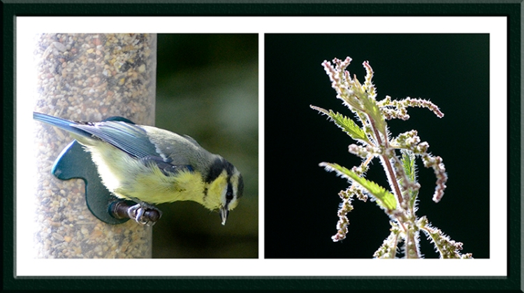 blue tit and nettle