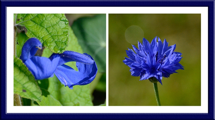 salvia and cornflower