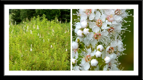 White wild flower