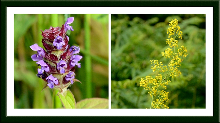 self heal and bedstraw