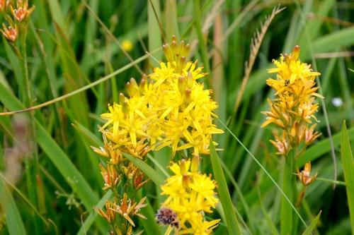 yellow moor flower