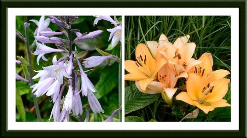 lilies and hostas