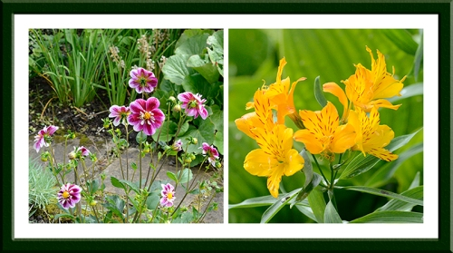 dahlia and alstroemeria