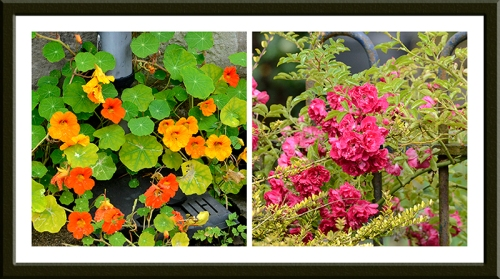 nasturtiums and rambler roses