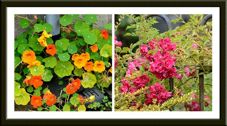nasturtiums and rambler roses
