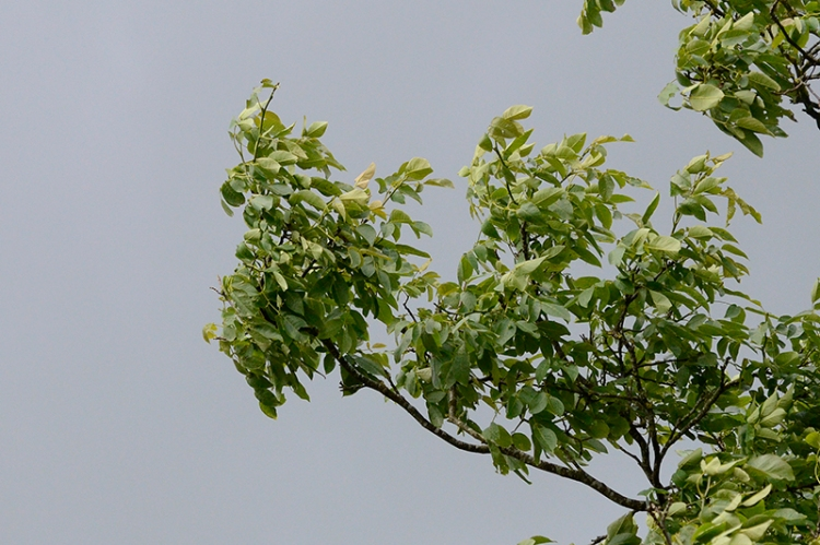 walnut in wind