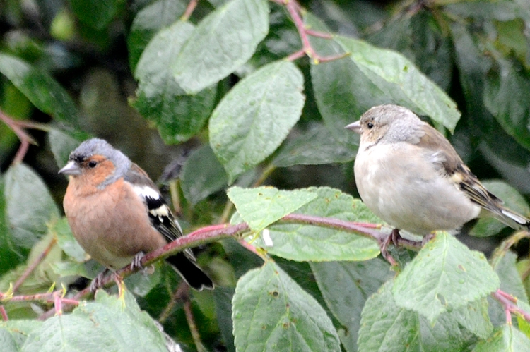 chaffinches in plum tree