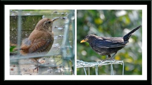 blackbird and wren