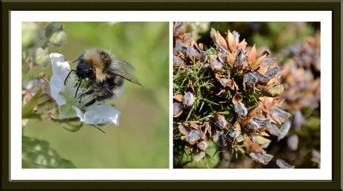 bees and gorse