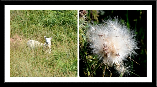sheep and thistle down
