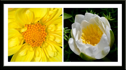 dahlia and water lily