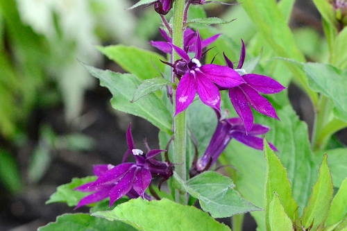 Lobelia Hadspen Purple
