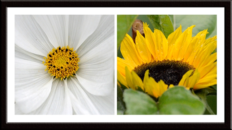 A few more cosmos and sunflowers are poking their heads up.