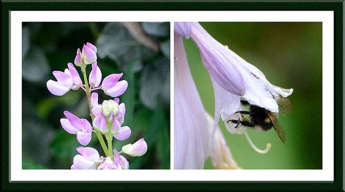 A lupin has given us a delicate secondary flowering and the bees can't get enough of the hosta flowers
