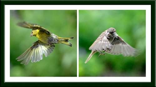 siskin and sparrow