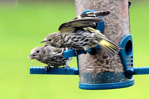 two shouting siskins