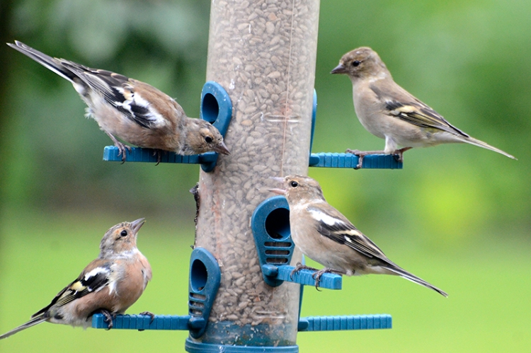 chaffinches on the feeder