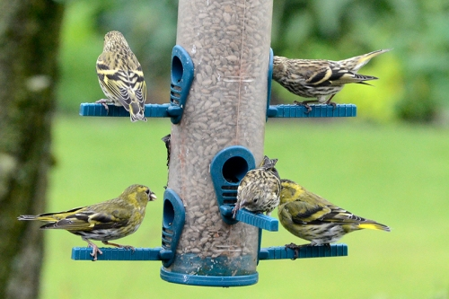 siskins on the feeder