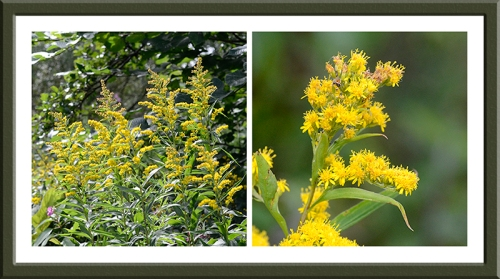 Golden Rod